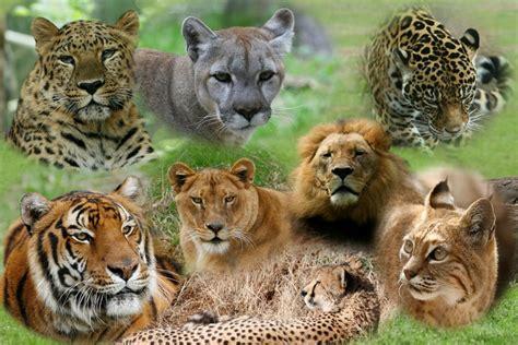 Asiatic Big Cats