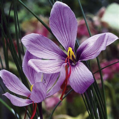 saffron crocus growing guide suttons gardening grow how
