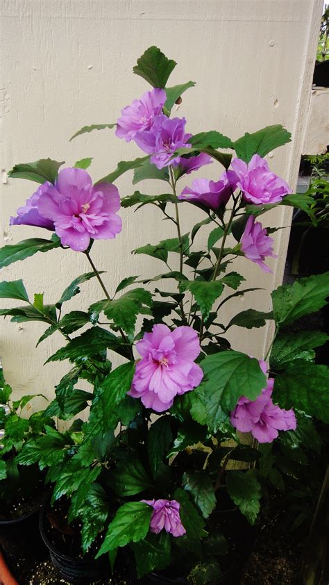 hibiscus syriacus rose  sharon double purple