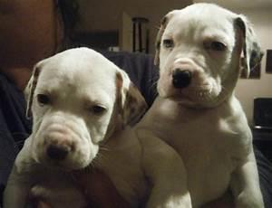 Bullmatian - Bulldog and Dalmatian Mix Pictures and ...
