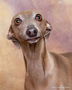 Italian-Greyhound-3.jpg