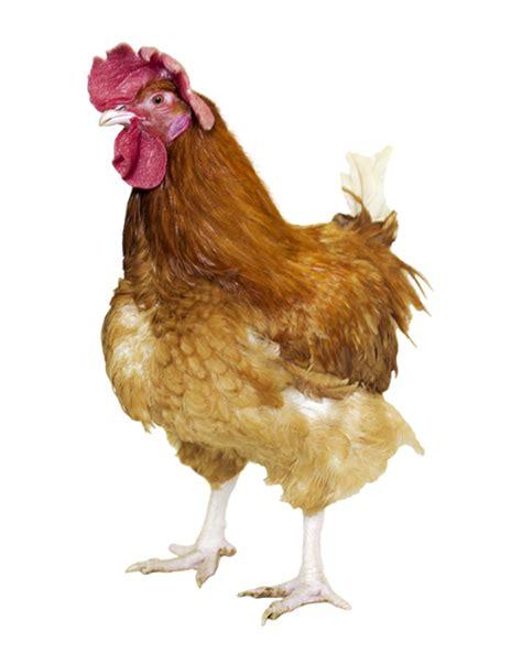 idées de plats à cuisiner poulet