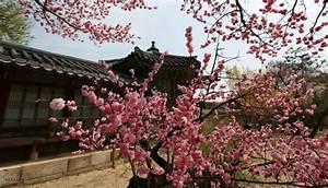 Korea's Cherry Blossoms 2017 Forecast: When & Where to ...