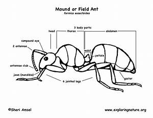 Ants  Mound Or Field