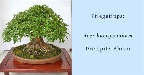 bonsai umtopfen anleitung acer buergerianum dreispitz ahorn hinweise zur bonsai pflege und bonsai gestaltung