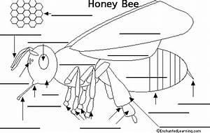 Bees Anatomy