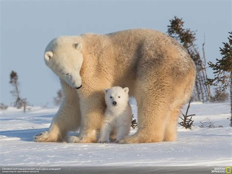 National Geographic Wallpapers Animals - polar bears animals snow baby animals national