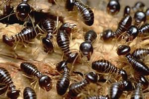 Related Keywords & Suggestions for termite varieties