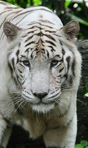 Pin by Lonnie Bushnell on Wild animals | Pet tiger, Tiger ...