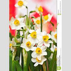 Narcissus Flower Stock Photo Image Of Flower, Springtime 35396160
