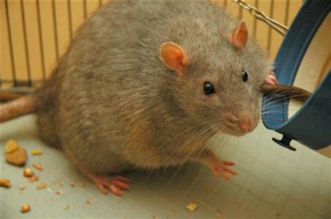 B.c. Study Says Rats Remain Slackers Even When Given