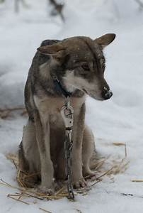 Go Dogs Go Review Sled Dogs Exposes Abuse Of Working Animals The