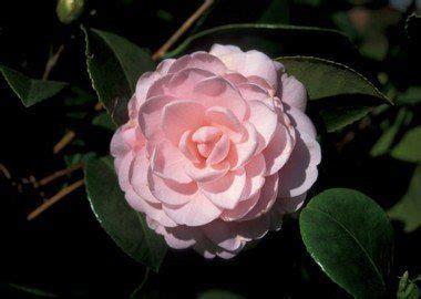 alabamas state flower  camellia alcom