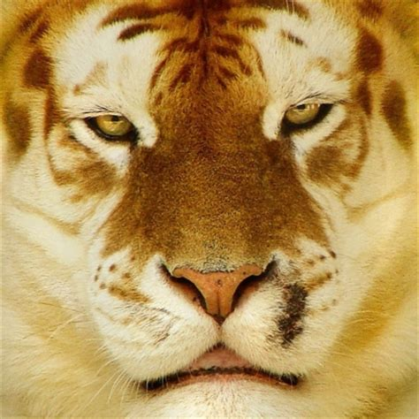 White Tiger Forum Avatars Profile Photos