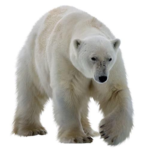 polar white bear png transparent images