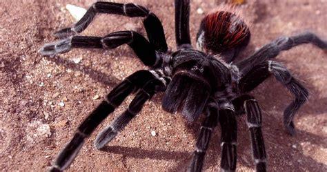 pet tarantula tarantula wallpapers fun animals wiki videos pictures stories