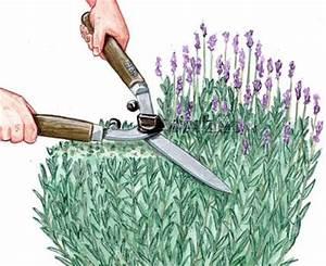 Wann Wird Lavendel Geschnitten : lavendel schneiden pflegen das m ssen sie wissen ~ Lizthompson.info Haus und Dekorationen
