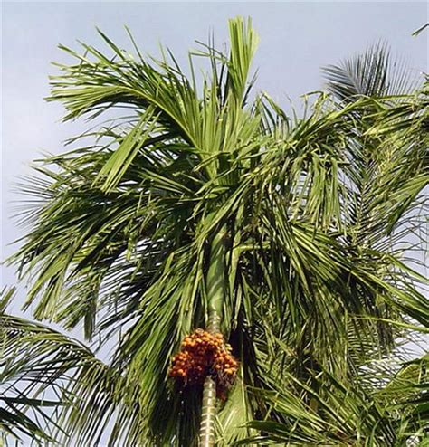 palm tree l factsheet areca catechu betelnut palm