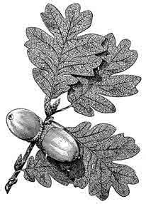 acorns food facts trivia