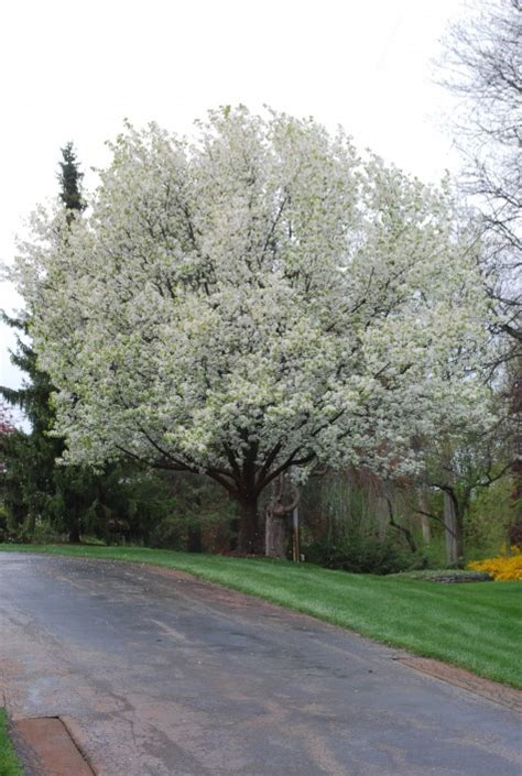 a tree with white flowers white flowering trees dirt simple