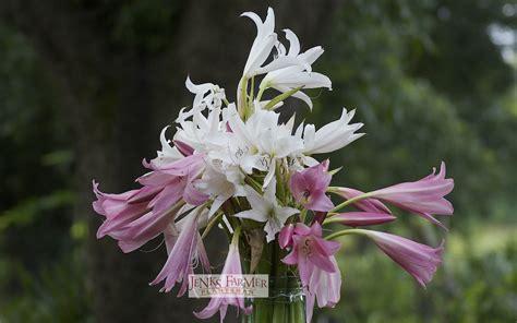 trumpet pink crinum flowers long plant leaves return farmer