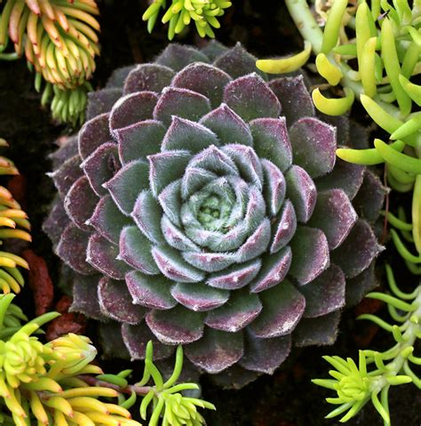 where to buy hens and plants sempervivum plum fuzzy quot hens chicks quot buy online at annie s annuals