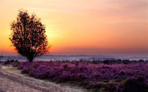 purple flower field tree  wallpapers purple flower