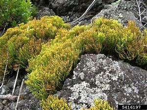 Whisk Fern  Psilotum Nudum  Psilotales  Psilotaceae