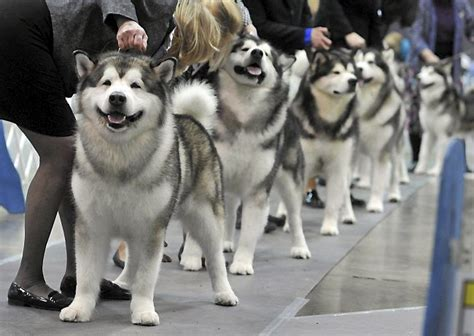do malamutes shed more than huskies 17 best images about alaskan malamutes on