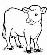 Cow Realistic Coloring Getdrawings sketch template