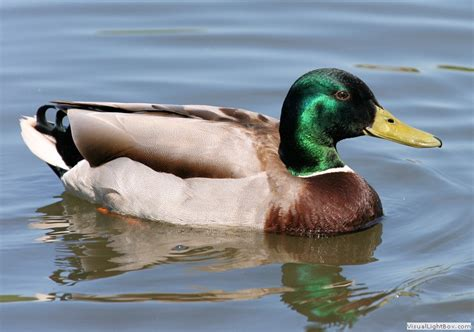 types of ducks types of dabbling duck species wildfowl identification wildfowl photography list of