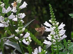 Weiß Blühende Stauden : gelenkblume langbl hende stauden ~ Watch28wear.com Haus und Dekorationen