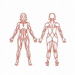 Anatomy Of Female Muscular System  Exercise And Stock