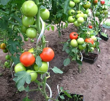 Spiral Stake Support As A Climbing Aid For Tomatoes And
