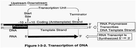 Transcription & Rna Processing