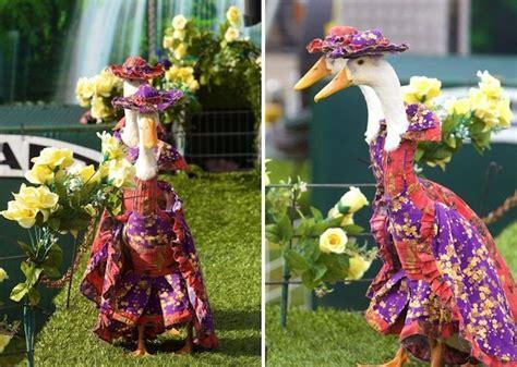 stylish ducks waddle   catwalk  annual fashion show