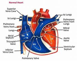 Why Is It Important That Deoxygenated Blood And Oxygenated Blood Are Separated In The Heart