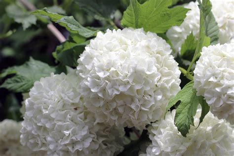 schneeball pflanze schneiden schneeball schneiden japanischer immergr 252 ner und gef 252 llter hausgarten net