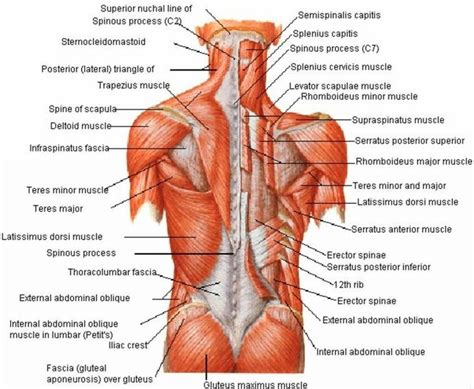 Back to female internal organs diagram. Diagram Back Muscles Female - Aflam-Neeeak