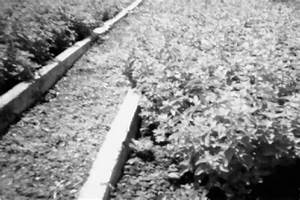 Lemon Catmint   Nepeta Cataria L  F  Citriodora   Under