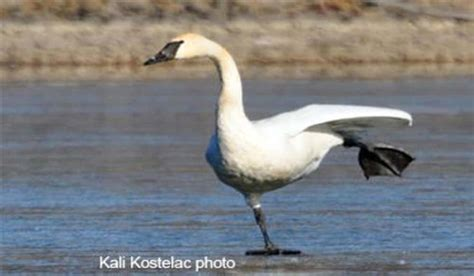 migrating swans impressive sight trumpeter kansas outdoorhub
