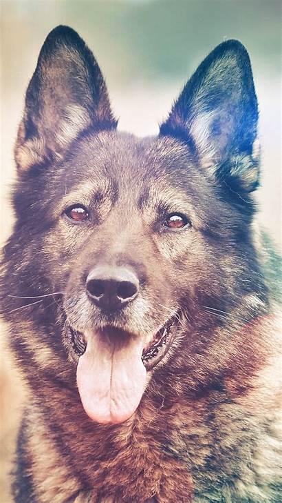 Animal Dog Smile Shepherds Flare Nature Iphone