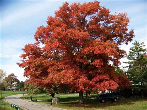 Top 10 Fastest Growing Shade Trees  Top Inspired