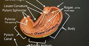 Wiring Diagram  33 Belly Button Anatomy Diagram