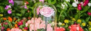 Rose Eternelle Sous Cloche : une rose sous cloche un pr sent pour les obs ques ~ Teatrodelosmanantiales.com Idées de Décoration