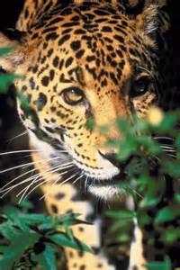 Rainforest Jaguar
