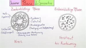 Bau Der Pflanze : sprossachse bau und funktion vertiefungswissen ~ Lizthompson.info Haus und Dekorationen
