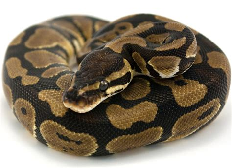 ball python heat l off at night every night a woman sleeps with a snake you won 39 t