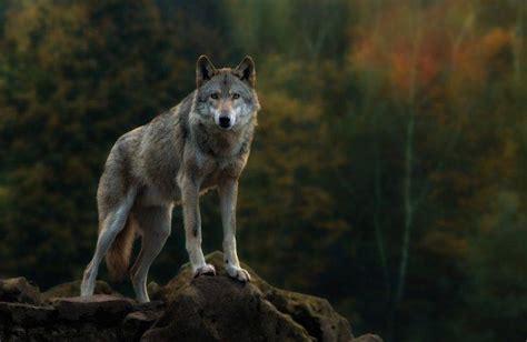 animals nature wolf wallpapers hd desktop  mobile