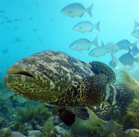 grouper goliath florida fish keys ocean atlantic marine giant protected species mote key line study fishes diving aquarium thread noaa